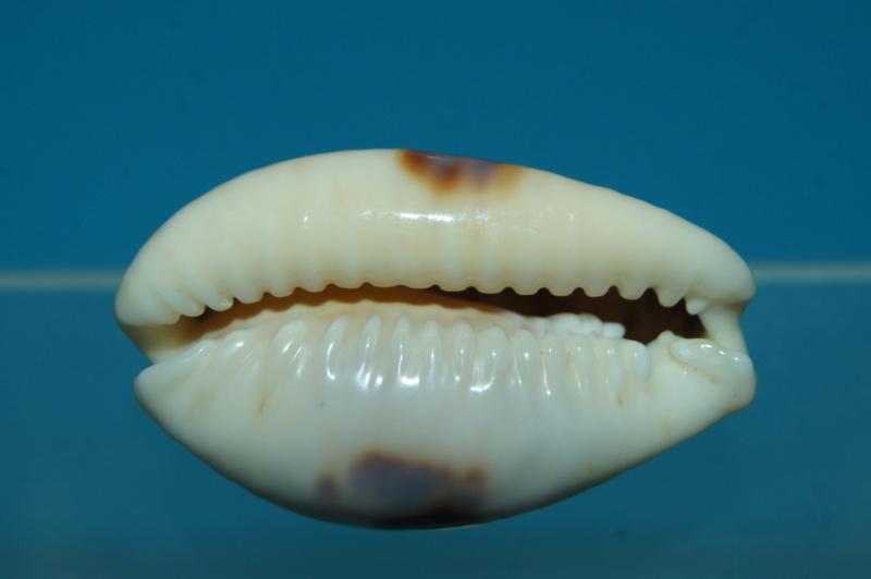 Naria erosa (Linnaeus, 1758) - Freak ou malformation Dsc00315