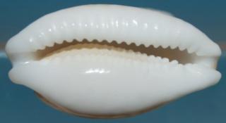 Cribrarula cribraria zadela - (Iredale, 1939)   Dsc02412