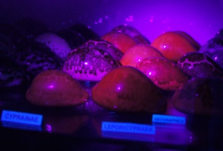 Leporicypraea rosea ultraviola - Lorenz & Bridges, 2014 Dsc02718