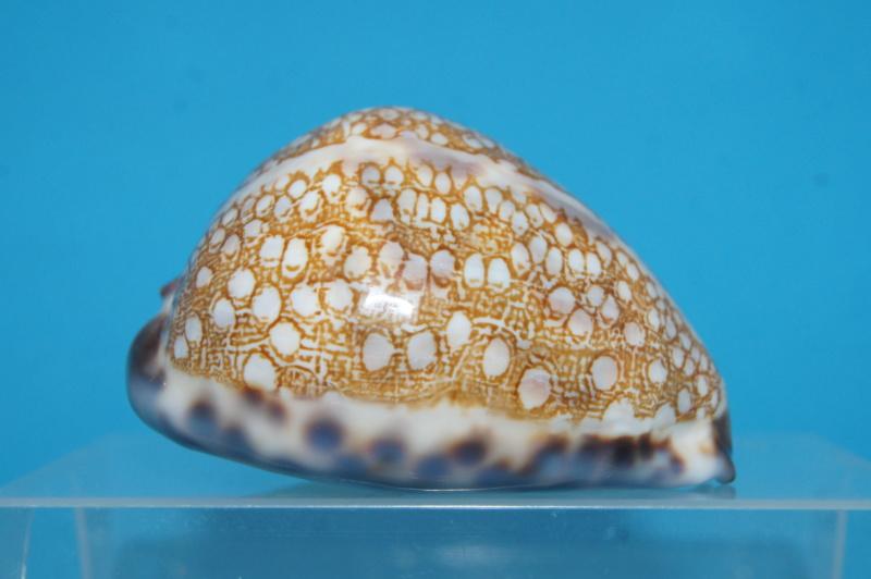Mauritia histrio f. westralis - (Iredale, 1935) Dsc03012