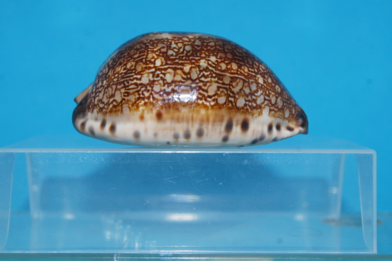 Mauritia arabica arabica - (Linnaeus, 1758)  Dsc03020