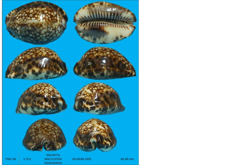 Mauritia maculifera  Maurit11