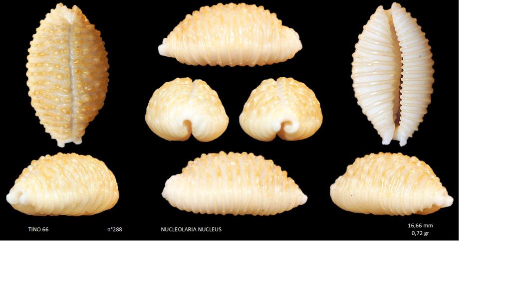 Nucleolaria_nucleus_(Linnaeus, 1758)_peut-être_gemmosa Sans_t16