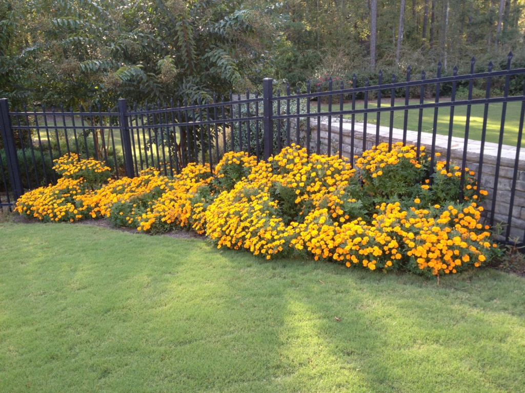 Marigold and other flower choices Marigo10