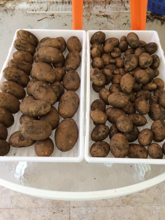 2018/2019 SFG in Brooks, GA - Page 9 Potato16