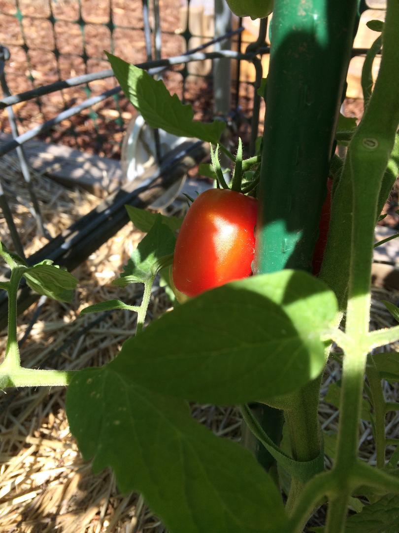 Tomato Tuesday - 2018 & 2019 - Page 5 Tomato27