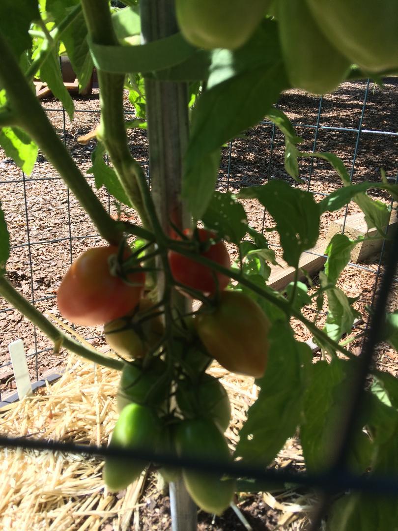 Tomato Tuesday - 2018 & 2019 - Page 5 Tomato28