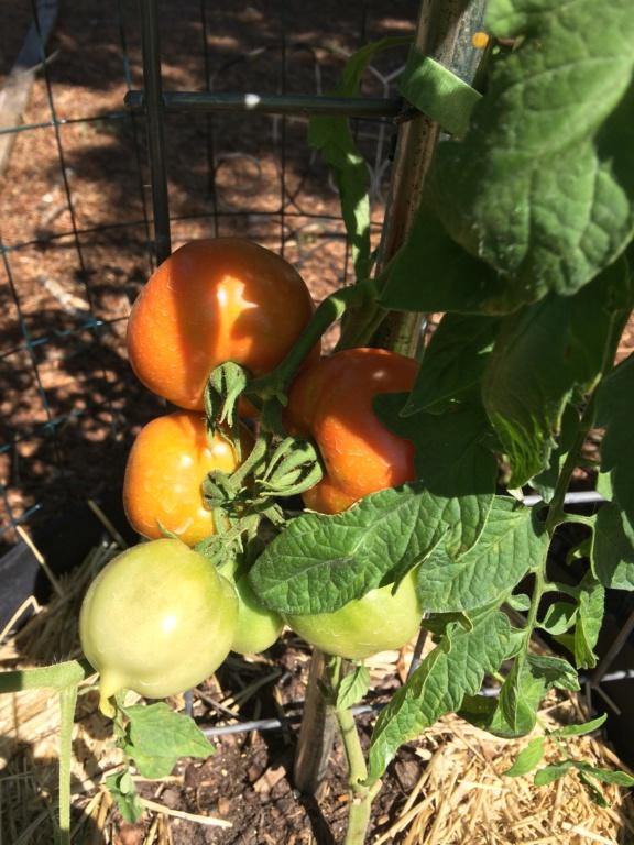 Tomato Tuesday - 2018 & 2019 - Page 5 Tomato29