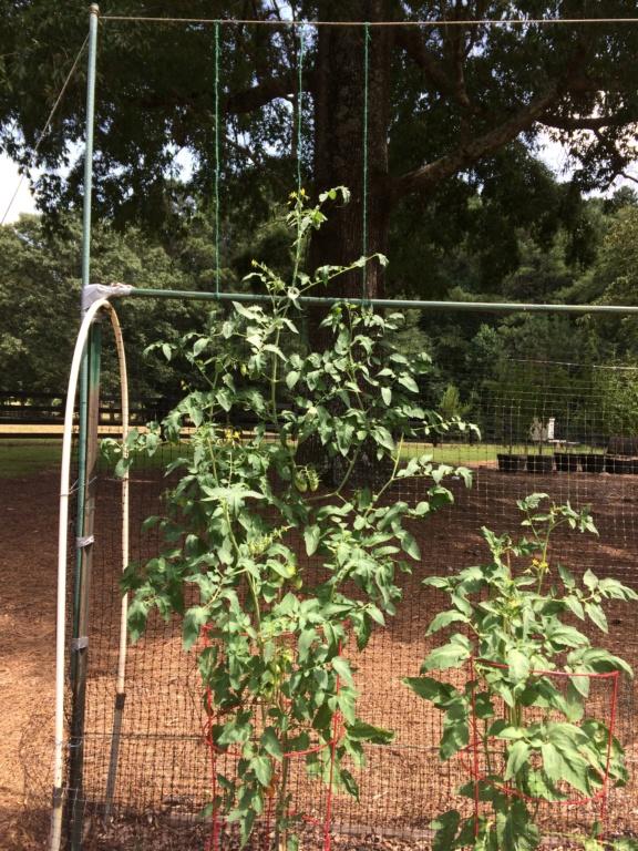 2018/2019 SFG in Brooks, GA - Page 10 Tomato38