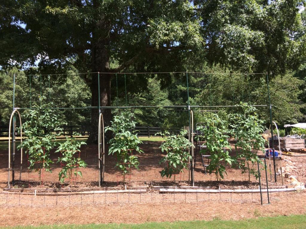 2018/2019 SFG in Brooks, GA - Page 10 Tomato40