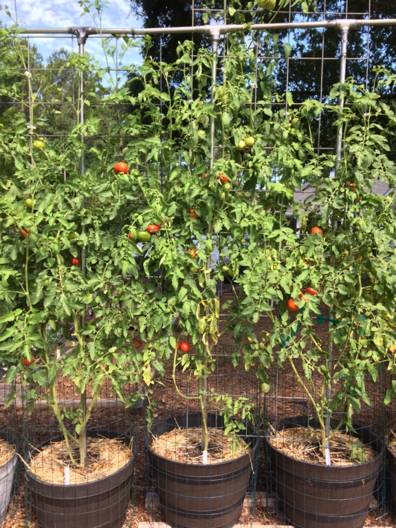 First SFG - How much can fit on a 4ft x 5ft trellis? Tomato53