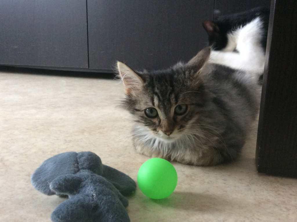 Hooper jeune chaton E7361310