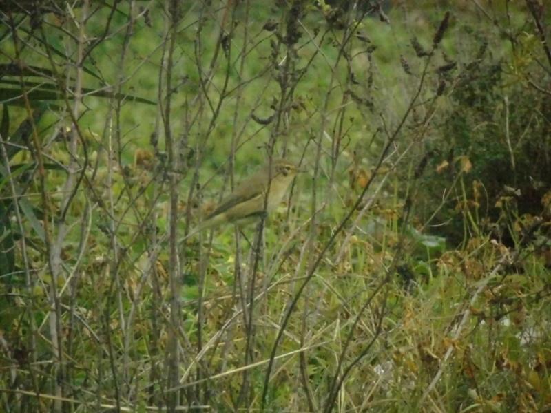 Petit oiseau marron clair Pouill10