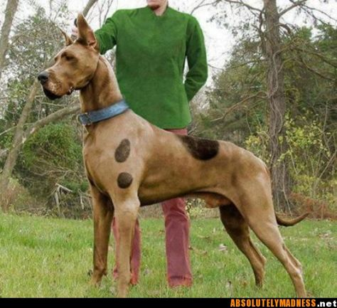 NEW PRODUCT: Mr.Z: simulation animal 37th-1/6 ratio German Great Dane German Great Dane - full set of 6 colors Scooby12