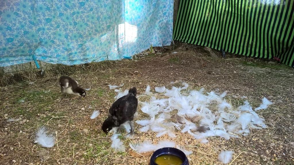maman de poussins de 15 jours tuée 18_aoz12