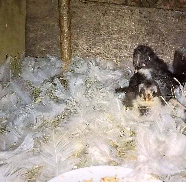 maman de poussins de 15 jours tuée Thumbn38