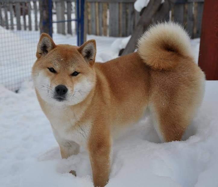 питомник «Шу-Шаолинь», SNOW GALAXY HONSU x Акацуки Зенджиро (г.Рязань) 26836510