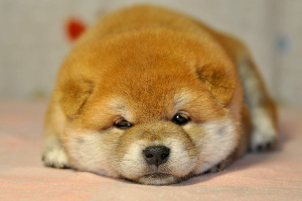 питомник «Шу-Шаолинь», щенки от пары Шу-Шаолинь Вия Ая х SHITONUBA AKARUMEY (г.Рязань) 3520f910
