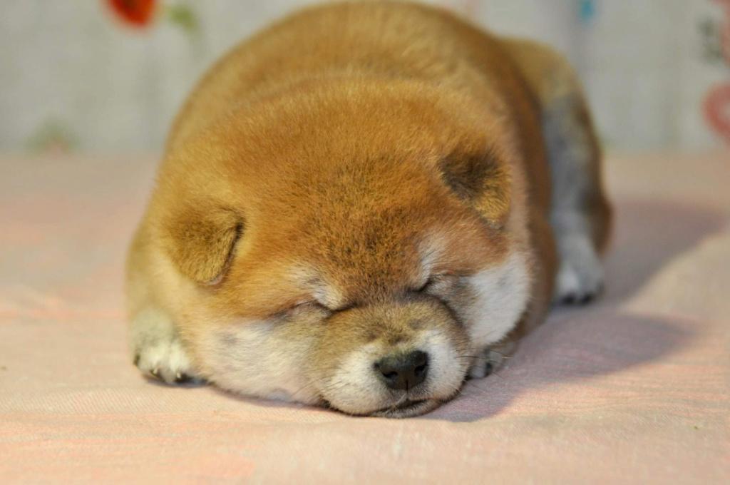питомник «Шу-Шаолинь», щенки от пары Шу-Шаолинь Вия Ая х SHITONUBA AKARUMEY (г.Рязань) 42ab0610