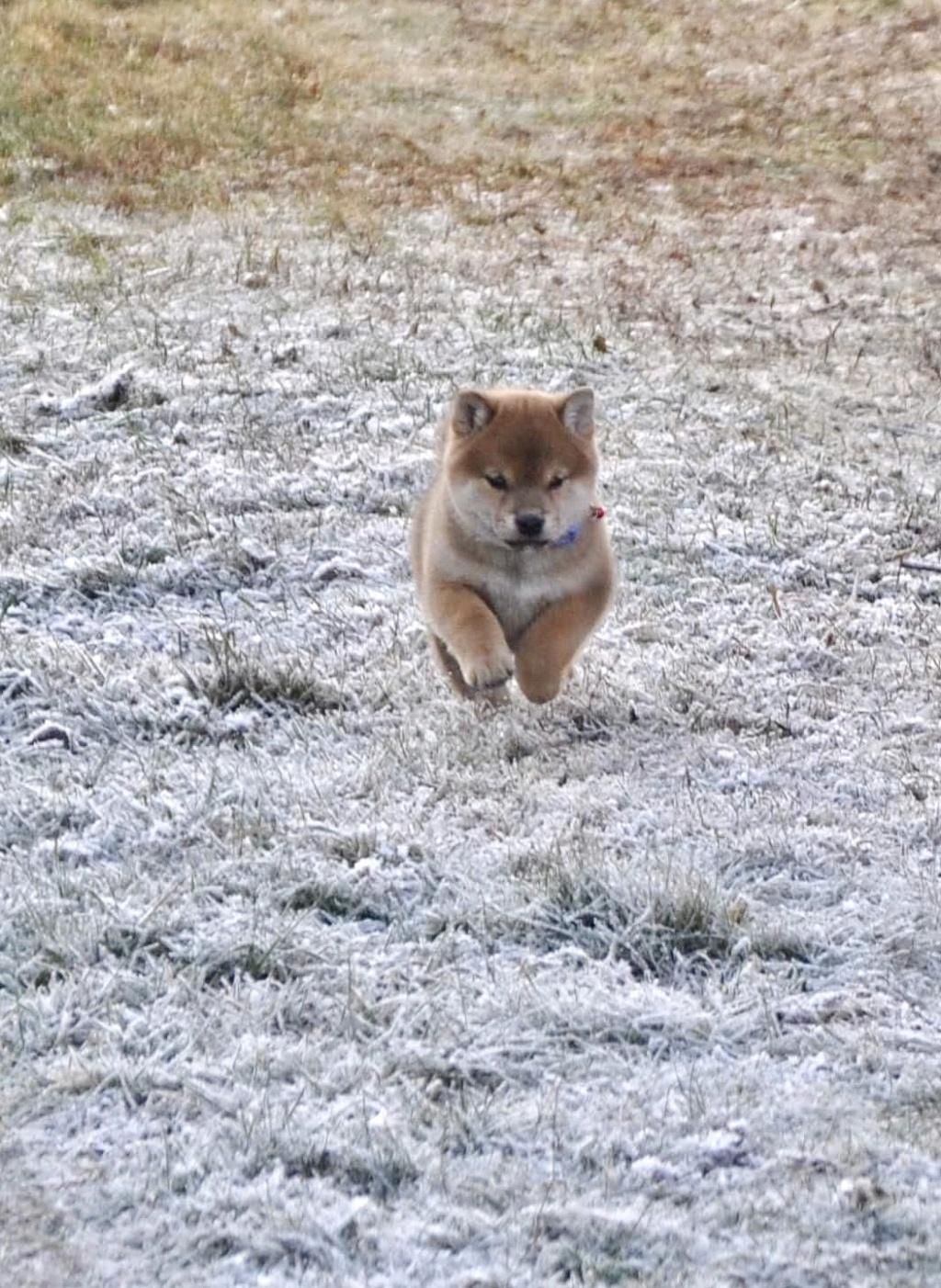 питомник «Шу-Шаолинь», SNOW GALAXY HONSU x Акацуки Зенджиро (г.Рязань) 75217b10