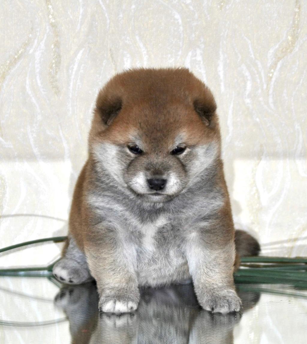 питомник «Шу-Шаолинь», щенки от пары Шу-Шаолинь Вия Ая х SHITONUBA AKARUMEY (г.Рязань) 765e2610