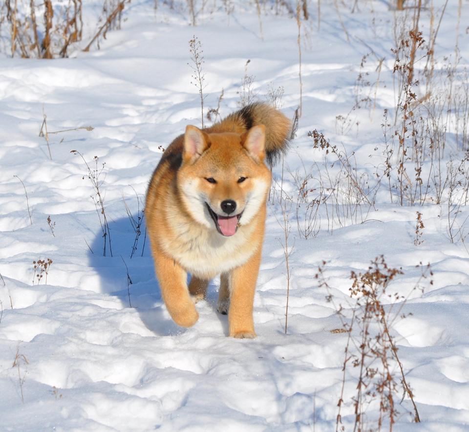 питомник «Шу-Шаолинь», SNOW GALAXY HONSU x Акацуки Зенджиро (г.Рязань) 84026910