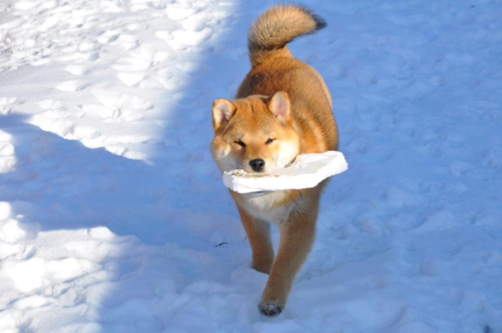 питомник «Шу-Шаолинь», SNOW GALAXY HONSU x Акацуки Зенджиро (г.Рязань) 84177710