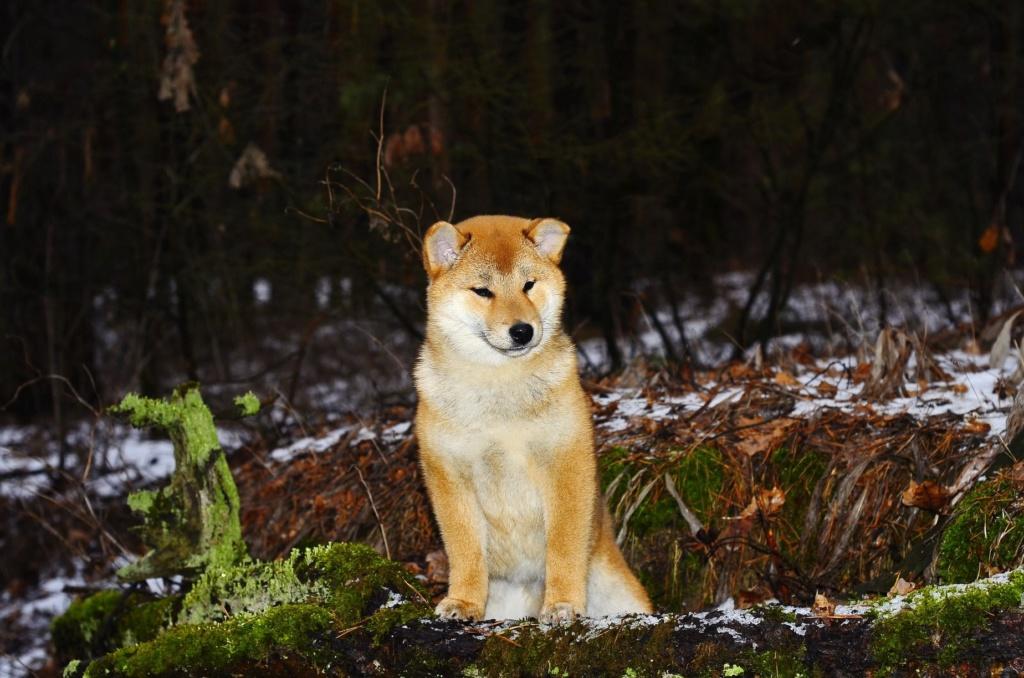 питомник «Шу-Шаолинь», SNOW GALAXY HONSU x Акацуки Зенджиро (г.Рязань) 93830f10