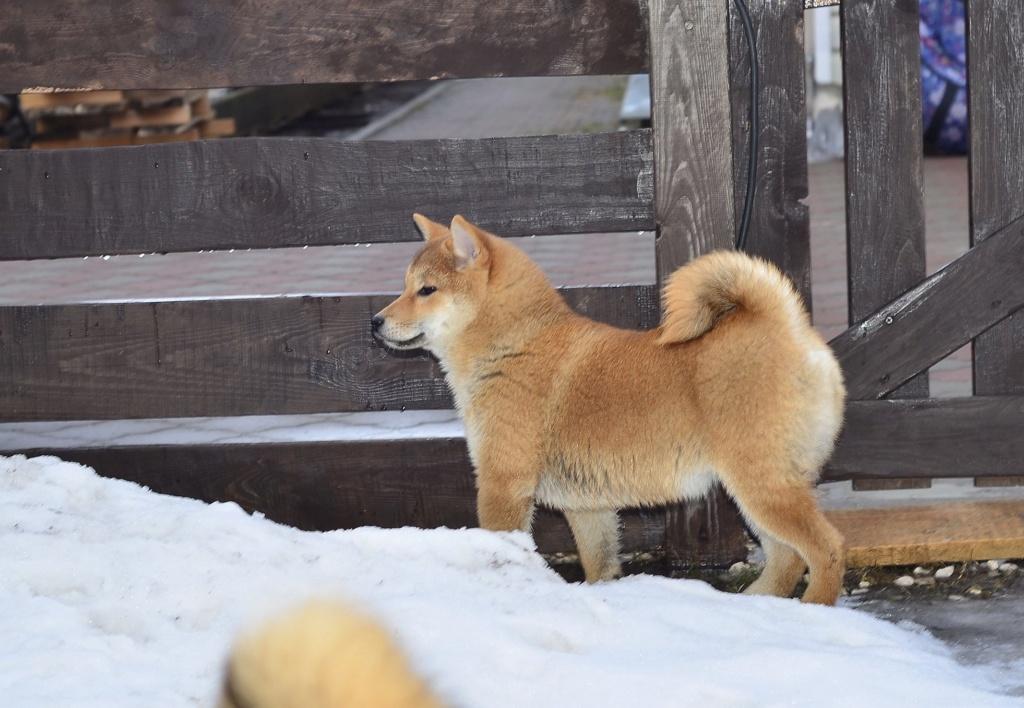 питомник «Шу-Шаолинь», SNOW GALAXY HONSU x Акацуки Зенджиро (г.Рязань) B9dfc510
