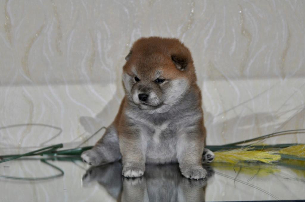 питомник «Шу-Шаолинь», щенки от пары Шу-Шаолинь Вия Ая х SHITONUBA AKARUMEY (г.Рязань) Ca668e10