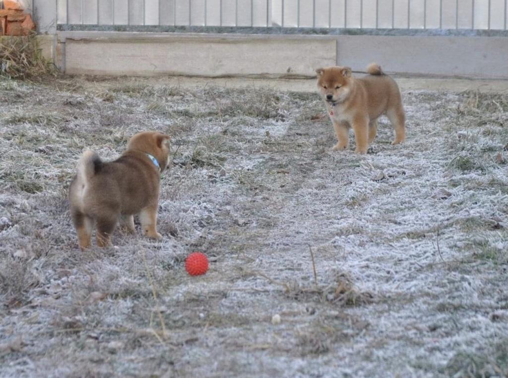 питомник «Шу-Шаолинь», SNOW GALAXY HONSU x Акацуки Зенджиро (г.Рязань) D07d3010