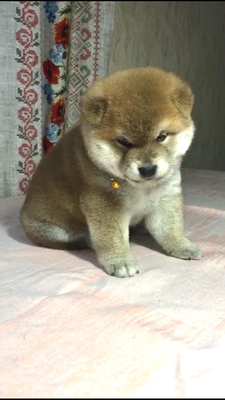 питомник «Шу-Шаолинь», щенки от пары Шу-Шаолинь Вия Ая х SHITONUBA AKARUMEY (г.Рязань) E7508f10