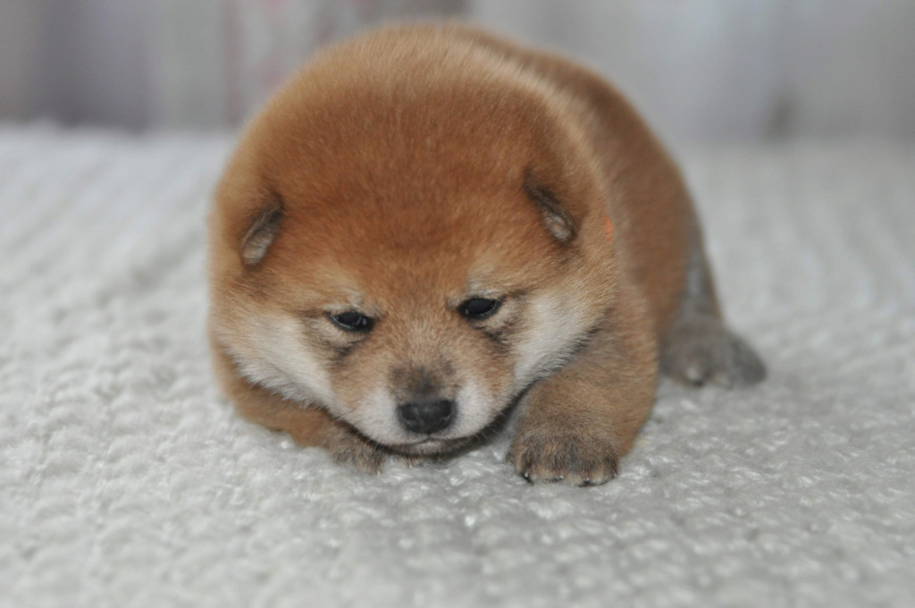 питомник «Шу-Шаолинь», щенки от пары Шу-Шаолинь Вия Ая х SHITONUBA AKARUMEY (г.Рязань) Eb760b10