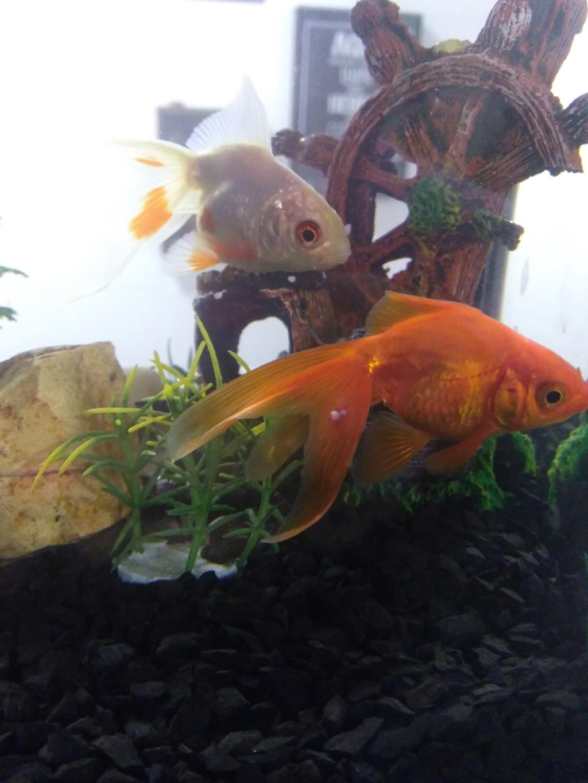 Peixe kinguio com manchas brancas Img_2010