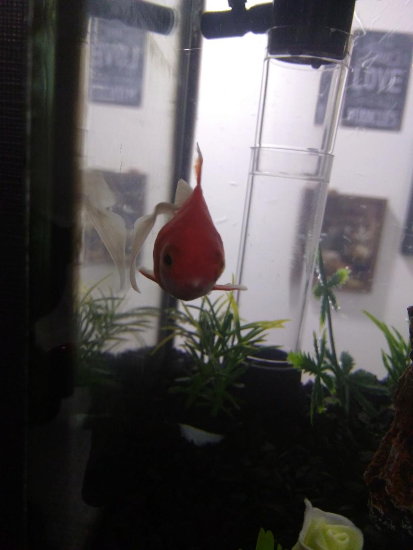 Peixe kinguio com manchas brancas Img_2011