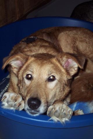 LEILA (ex GINGER) - Femelle, croisée, de grande taille, née en 2012 ( PASCANI ) REMEMBER ME LAND - Adoptée par Nicole (91) - Page 9 Bc62f210