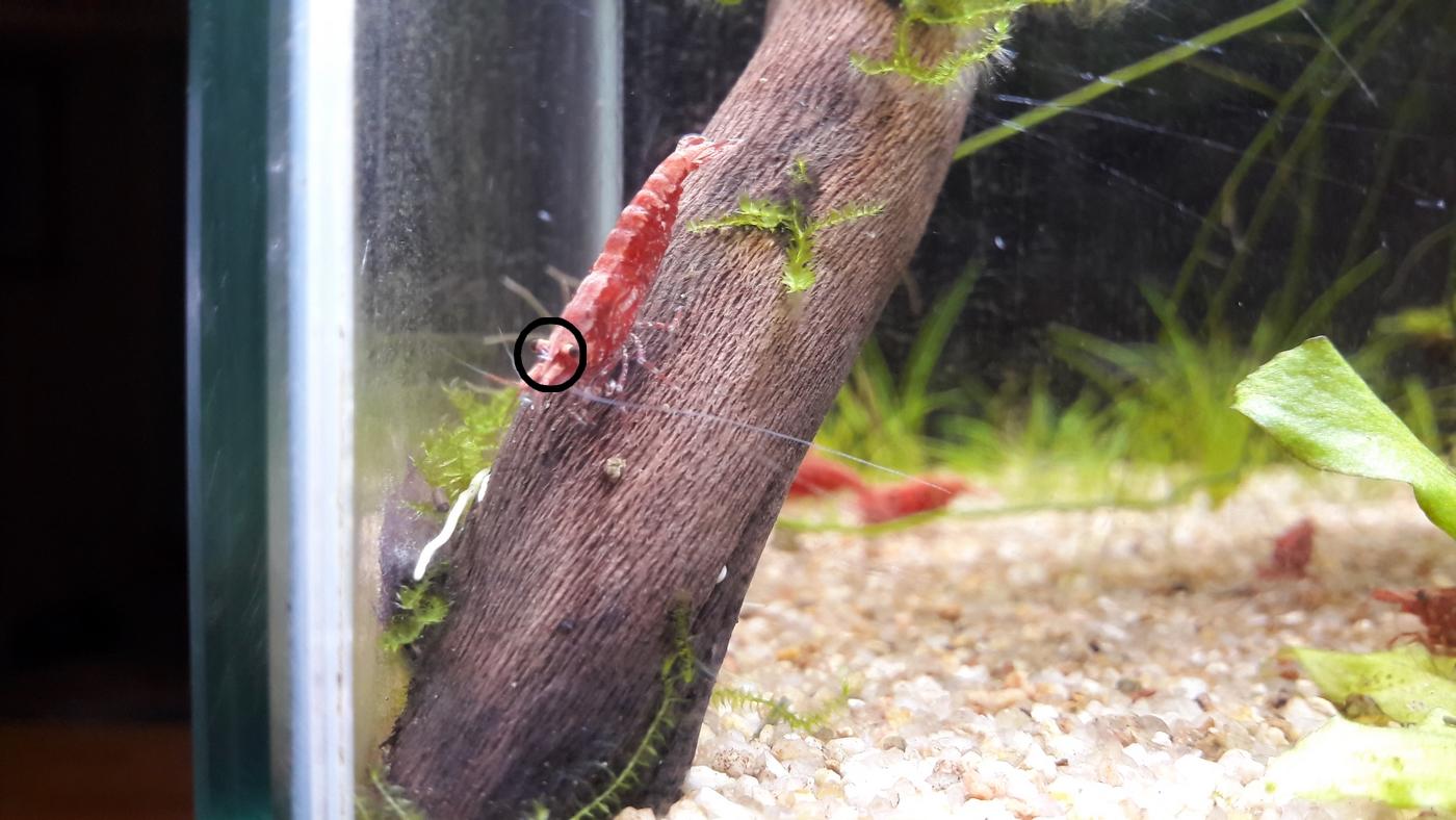 Parasites crevettes A10