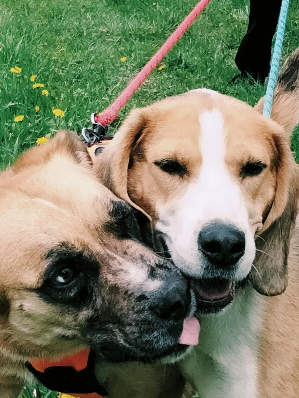 GOMETTE  (femelle croise beagle) Img20213