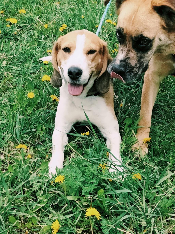 GOMETTE  (femelle croise beagle) Img20216
