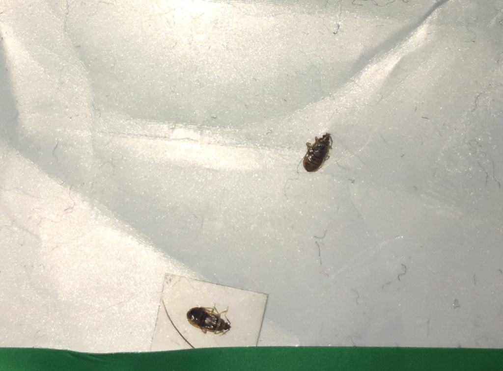 Identifier un insecte. Punaise de lit? 2dd15f10