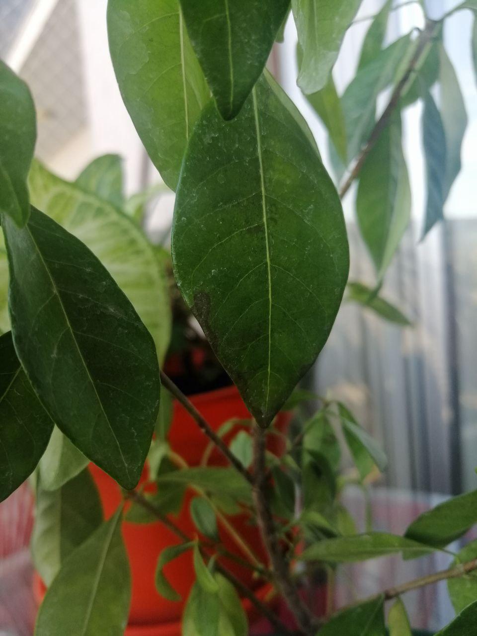 Se muere mi bonsai Hoja310