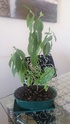 Se muere mi bonsai Bonsai12