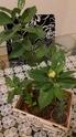 Se muere mi bonsai Bonsai13