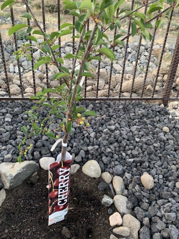 Cherries Vườn Nhà B3242510