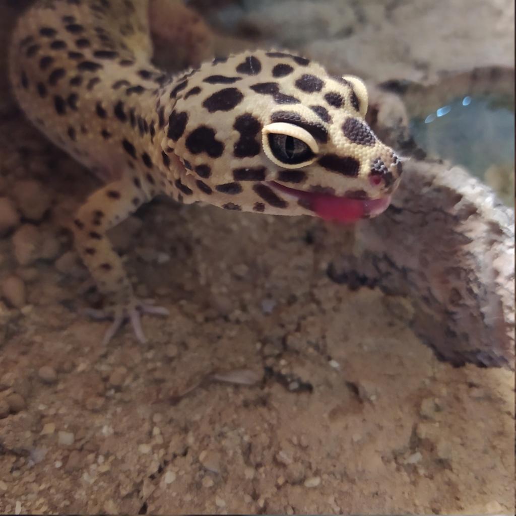 Mue ratée gecko léopard :( Oasis210