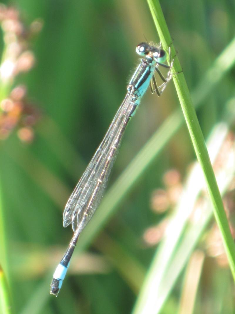Odonate à identifier, Ischnura elegans Eta_2029