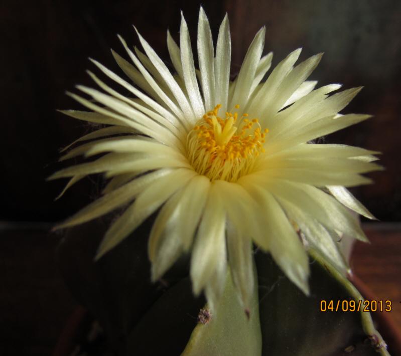 astrophytum myriostigma v nudum Img_1816