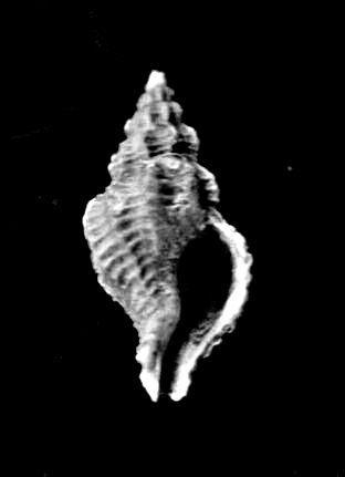 [résolu]Jsowerbya depauperata (Deshayes 1865) Dgdgdg10