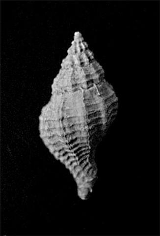 [résolu]Jsowerbya depauperata (Deshayes 1865) Getatt12
