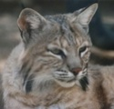 Commentaires et critiques sur les chalumeaux - Page 3 Bobcat10